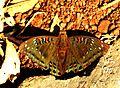 Gaudy Baron Euthalia lubentina Male by Dr. Raju Kasambe DSCN1050 (4).jpg
