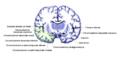 Gehirn Frontalschnitt hippocampus-it.png