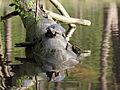 Gelbwangen-Schmuckschildkröte.JPG