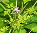 Geranium robertianum in Montriond.jpg