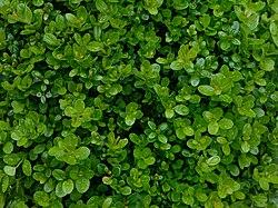Gewöhnlicher Buchsbaum, Buxus sempervirens .JPG