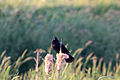 Gfp-red-winged-blackbird-in-marsh.jpg