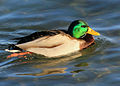 Gfp-swimming-mallard-duck.jpg