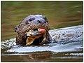 Giant Otter (29409510057).jpg