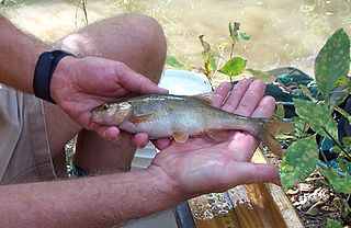 Headwater chub species of fish