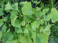 Gingko biloba leaves.jpg