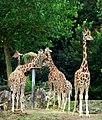 Girafes (3880581805).jpg