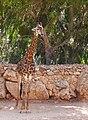 Giraffa-JZ95.jpg
