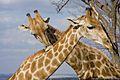 Giraffe Africa.jpg