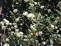 Gliricidia sepium var.alba-2-peliyur-yercaud-salem-India.jpg
