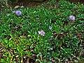 Globularia cordifolia 001.JPG