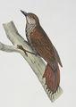 Glyphorynchus spirurus Castelnau.jpg