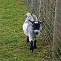 Goat (49399262878).jpg