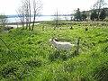 Goat at Drumsoghla - geograph.org.uk - 1612524.jpg