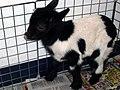 Goat b.jpg