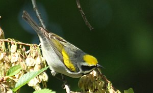 Golden-winged warbler - Oak Park, Illinois
