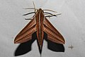 Golden Striped Hawkmoth Theretra lycetus by Dr. Raju Kasambe DSCN8366 (2).jpg