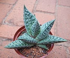 Gonialoe Aloe sladeniana in cultivation - RSA 1.JPG