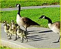Goose Family 4-5-14 (13723597793).jpg