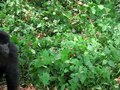 File:Gorilla in Kinigi and Volcanoes National Park, Rwanda.webm