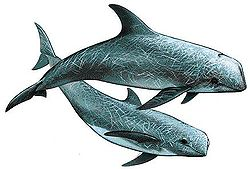Dessin de deux dauphins de Risso