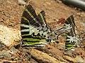 Graphium antiphates - Five-bar Swordtail 14.jpg