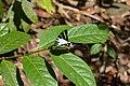 Graphium antiphates naira Moore, 1903 – Sahyadri Five-bar Swordtail at Kannavam RF (56).jpg