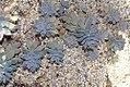 Graptopetalum paraguayense 2zz.jpg