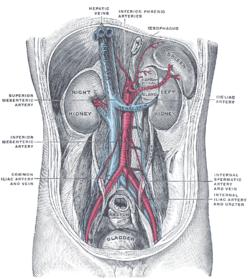Renal artery wikipedia renal arteries branching left and right from the aorta in red ccuart