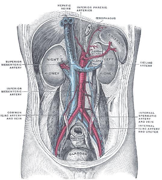 Inferior mesenteric artery - Howling Pixel