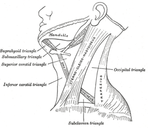 Sternocleidomastoid muscle - The sternocleidomastoid muscle with nearby structures labeled, such as the triangles of the neck.