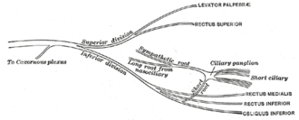 Short ciliary nerves - Plan of oculomotor nerve. (Short ciliary labeled at center right.)