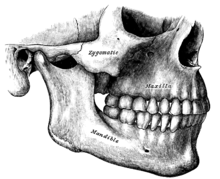 the maxilla is the upper jaw in mammals it is tightly fused to the skull but in fish and reptiles it is usually not in snakes for example