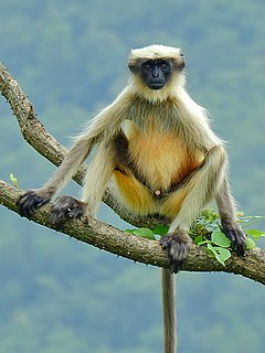 Gray langur Genus of Old World monkeys