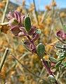 Grayia spinosa 4.jpg