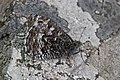 Grayling (Hipparchia semele atlantica).jpg
