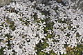 Great Falls National Park - white flowers - 2.JPG