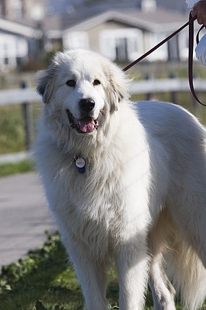 Great Pyrenees - A Great Pyrenees