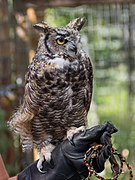 Great horned owl at ACES (11799).jpg