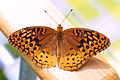 Great spangled fritillary (Speyeria cybele) on the arm of a chair.jpg