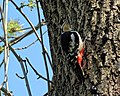 Great spotted woodpecker Dendrocopos major pinetorum in Downhills Park, Haringey London England 3.jpg