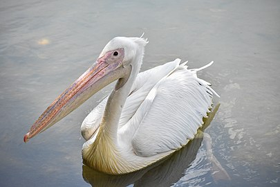 Great white pelican @ PuJ Wetlands.jpg