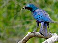 Greater Blue-eared Starling (Lamprotornis chalybaeus) (8387233712).jpg