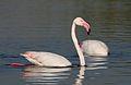 Greater Flamingo, Phoenicopterus roseus at Marievale Nature Reserve, Gauteng, South Africa (27289979483).jpg