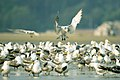 Greater crested terns.jpg