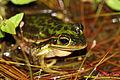 Green&Golden Bell Frog (Litoria aurea) (8397049195).jpg