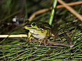 Green&Golden Bell Frog (Litoria aurea) (8397053973).jpg