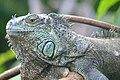 Green Iguana (Iguana iguana) male ... (Captive specimen) (44382589184).jpg