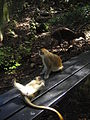 Green Monkey in Barbados 06.jpg