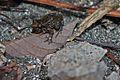 Greenhouse Frog (Eleutherodactylus planirostris) (8572426554).jpg